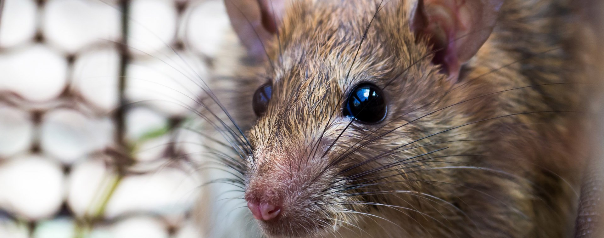 Rodents and Mammals | Monitor Pest Control