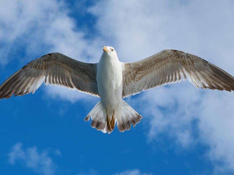 Gull Control 3