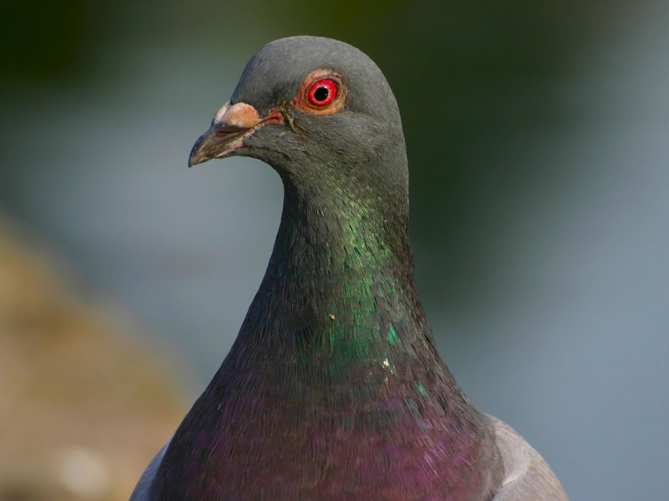 Pigeon Control 2