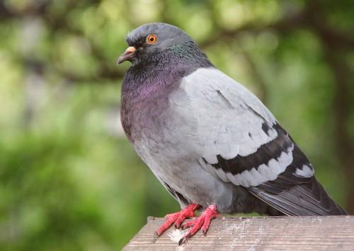 Pigeon Control 500x355