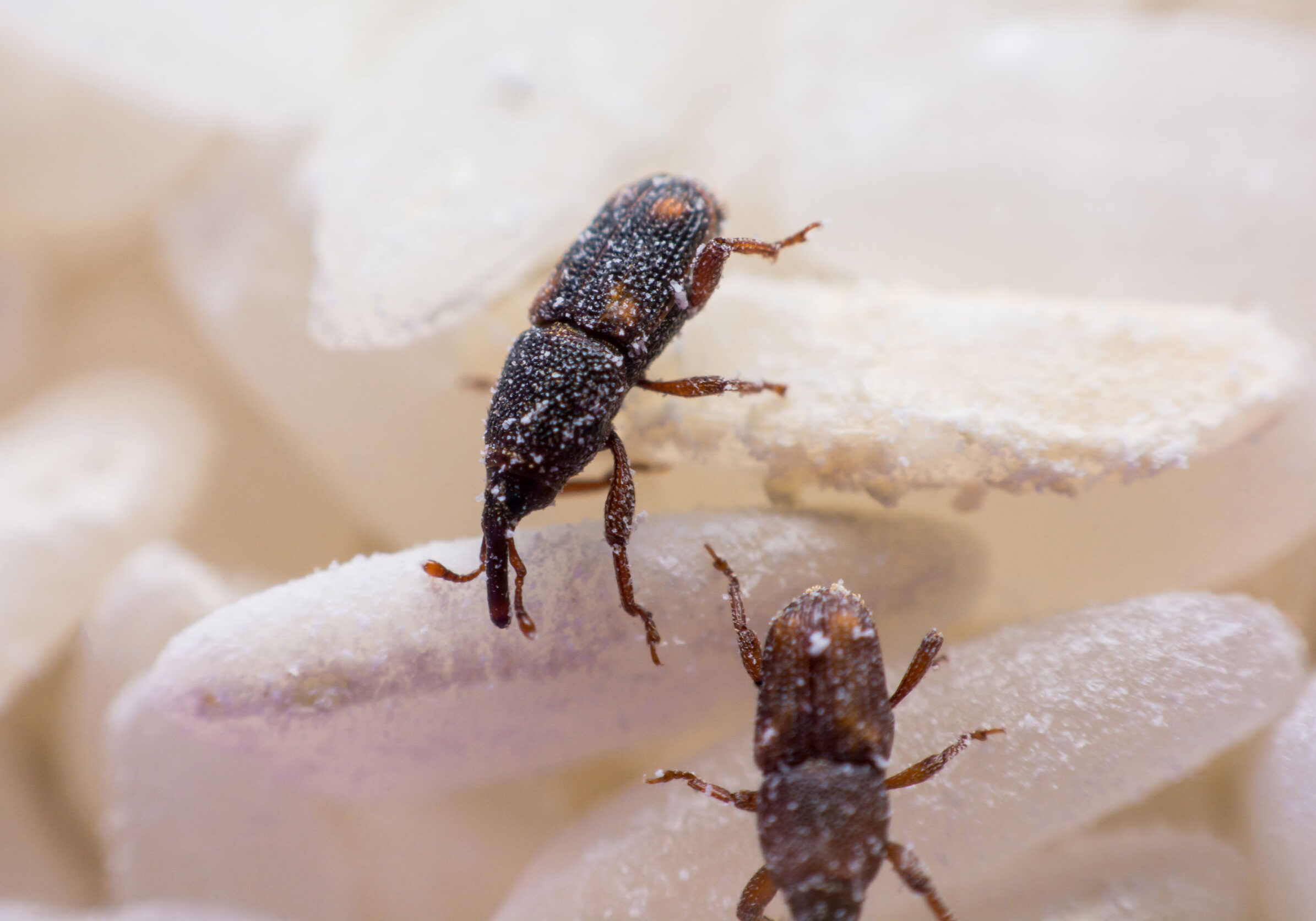 Rice weevil, or science names Sitophilus oryzae close up on white Rice destroyed.