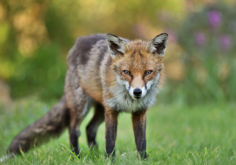 Close up of a red fox standing on the grass in the garden, UK.