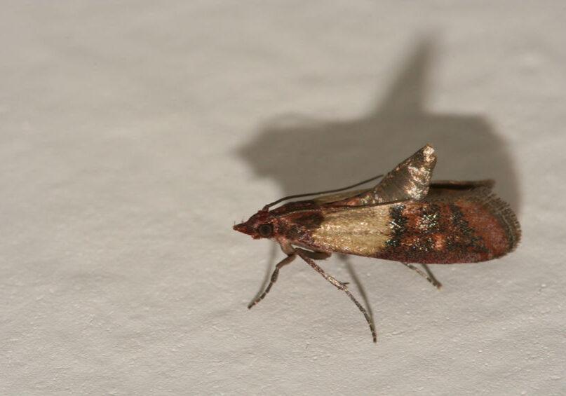 Indian meal moth pest, Plodia interpunctella on white wall