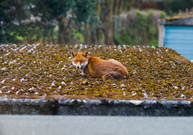 An alerted fox (vulpes vulpes) caught relaxing on the roof in Forest Hill, a suburb in London. Shot was taken in the morning in March, Spring.
