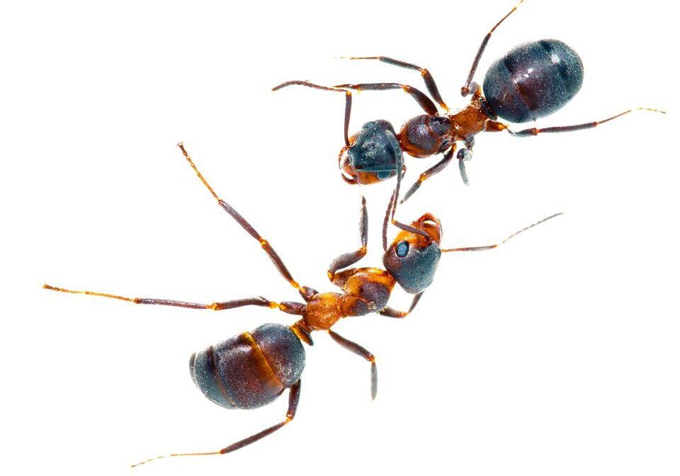 Ant Control 2