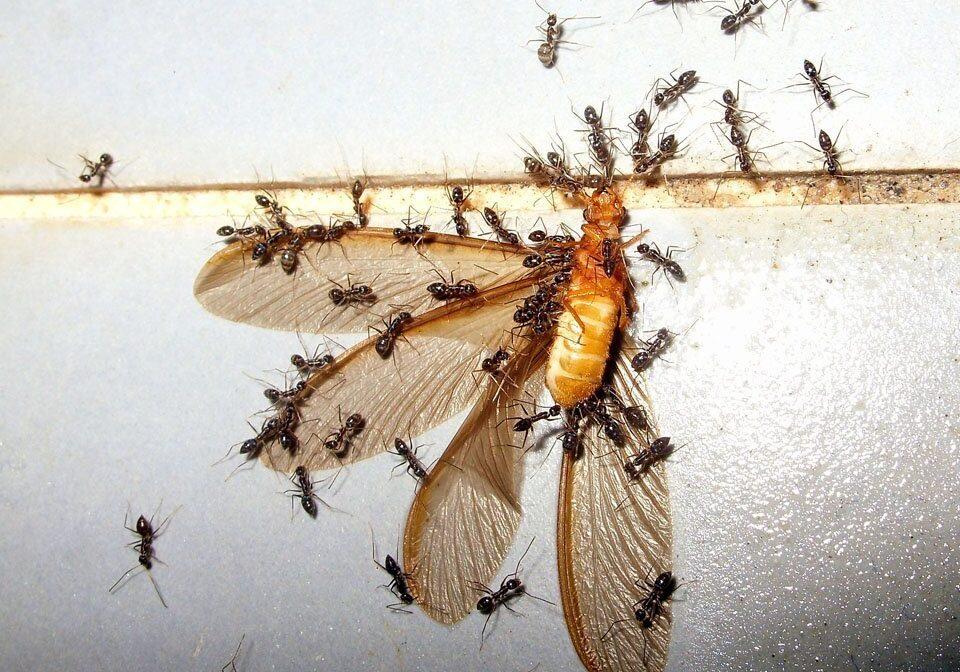 Ant Control 3