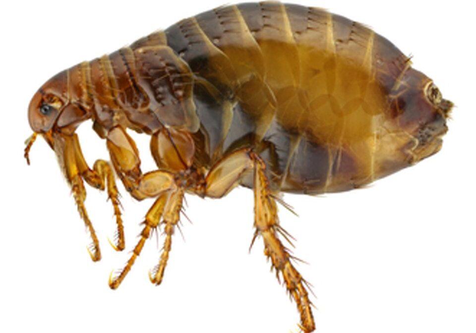 Flea Control 3