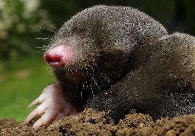 Mole Control 4