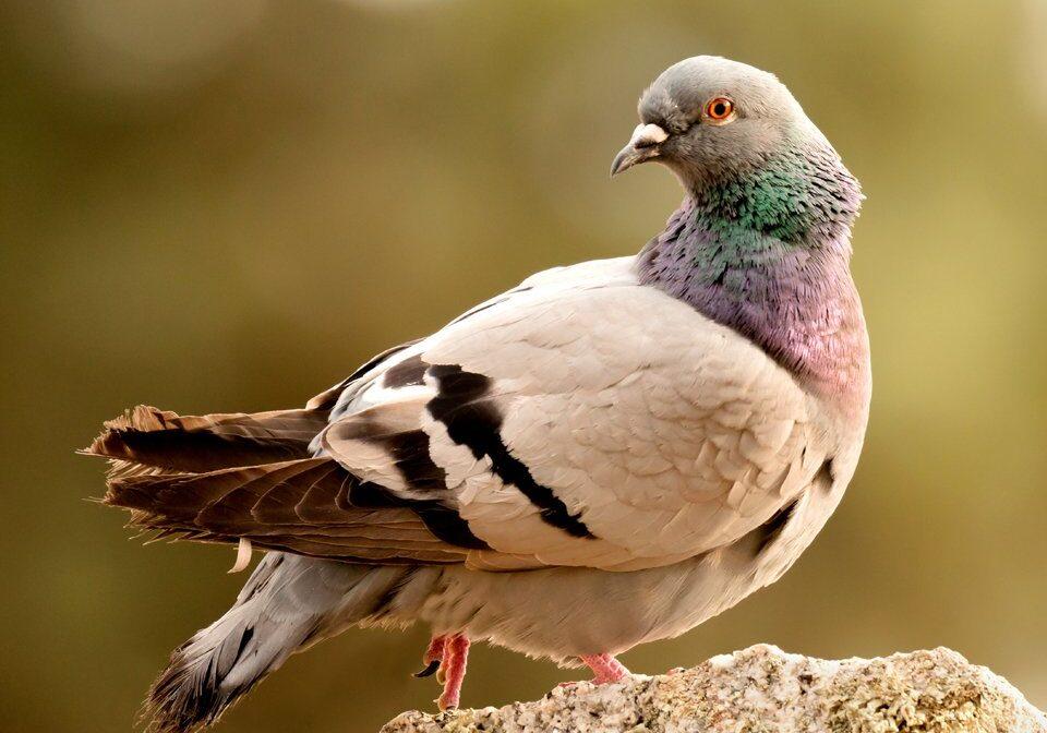 Pigeon Control 4