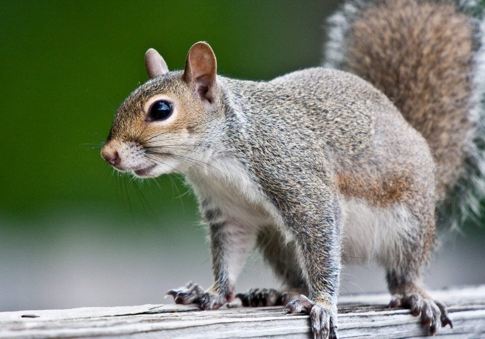 Squirrel Control 2